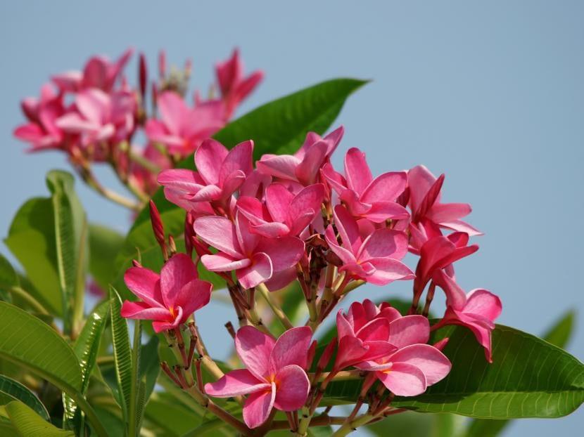 Plumeria rubra de flores rosas