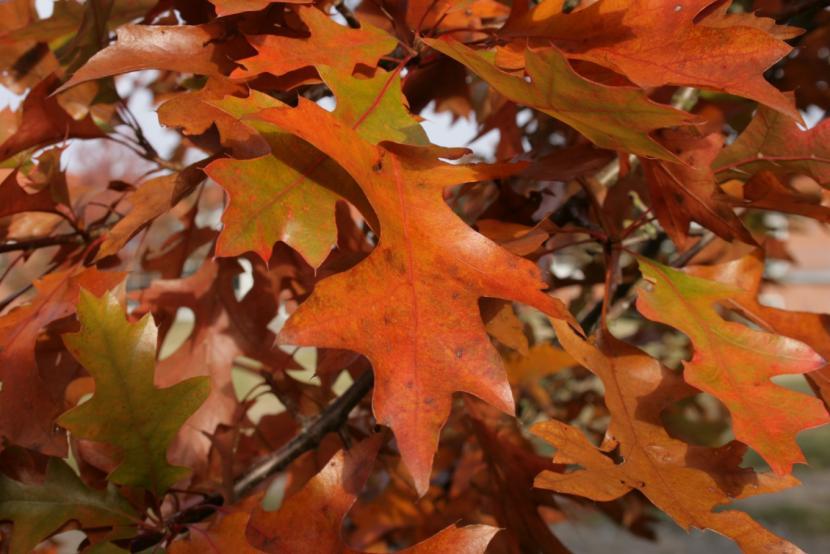 Quercus palustris en otoño