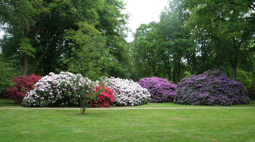 Rododendro en jardín