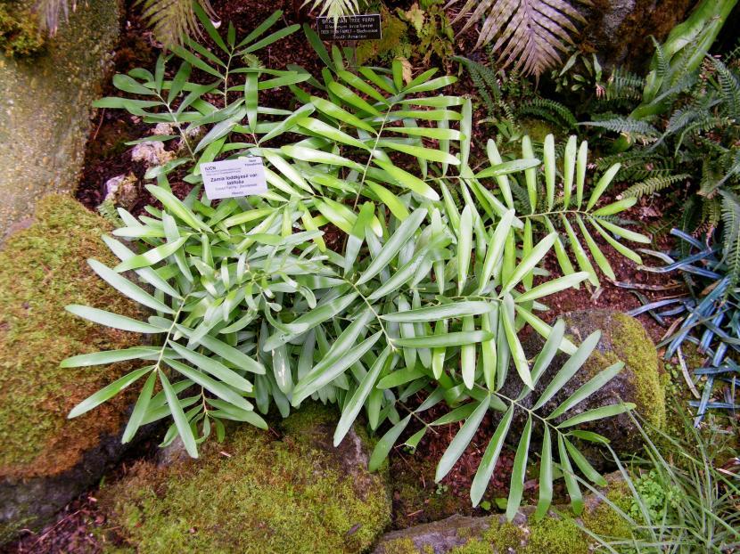 Zamia loddigesii var. latifolia
