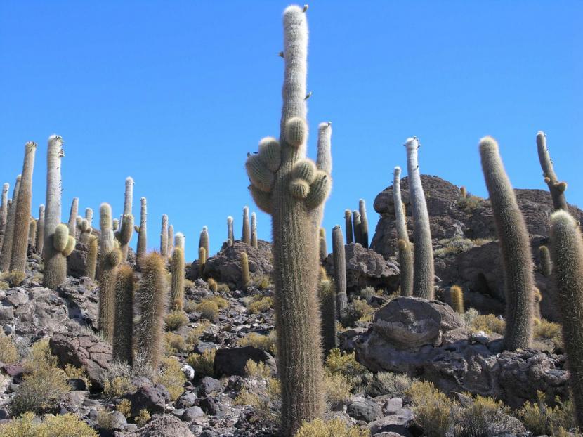 Cactus altos