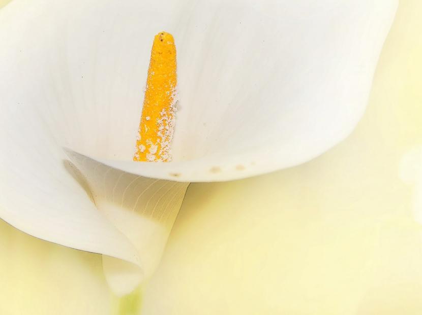 Flor de Cala blanca