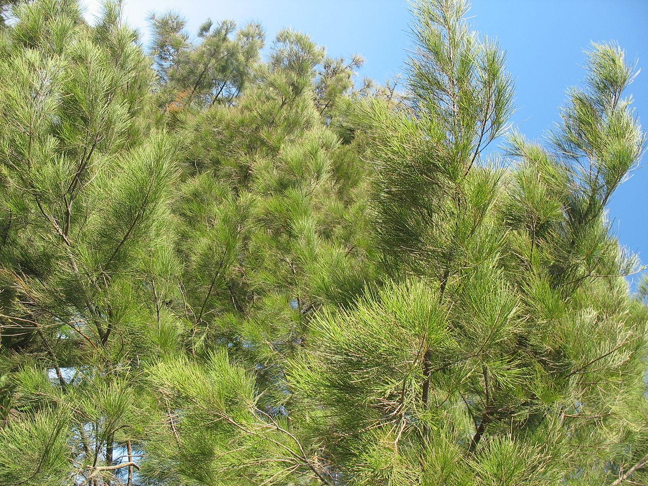 La Casuarina equisetifolia es un árbol perenne