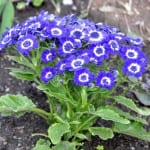 Cineraria de flores azules