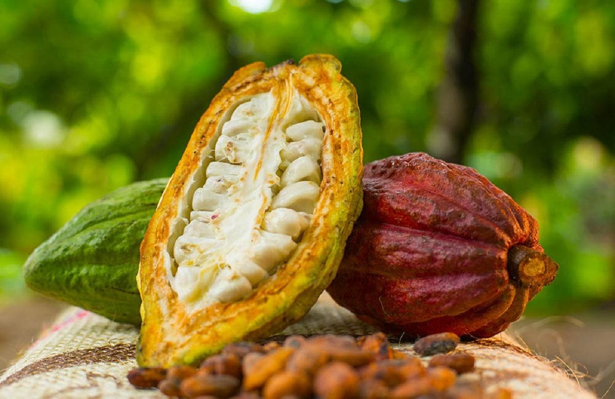 como cultivar cacao