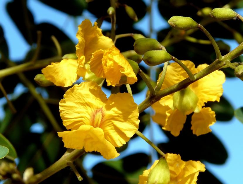Flor de Tipuana tipu