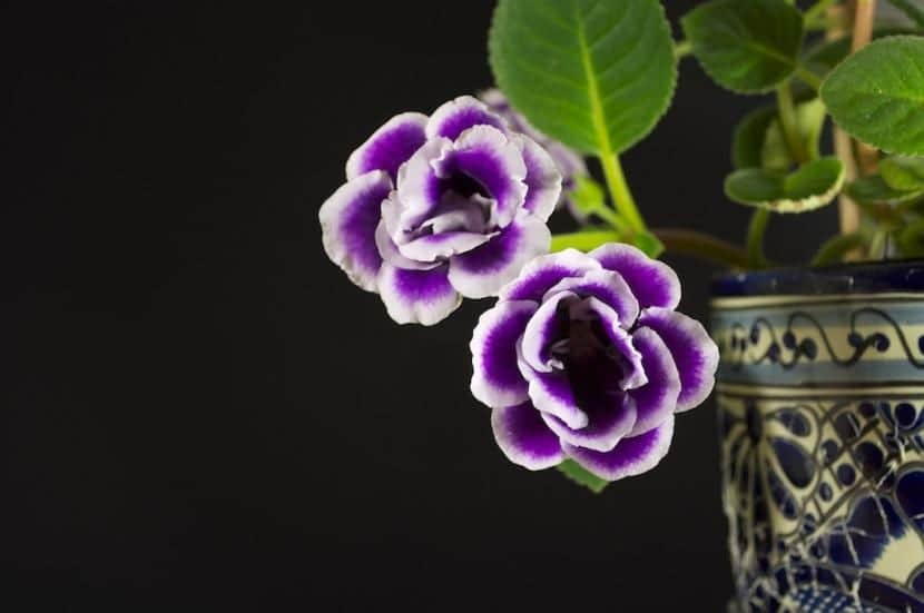 Gloxinia lila