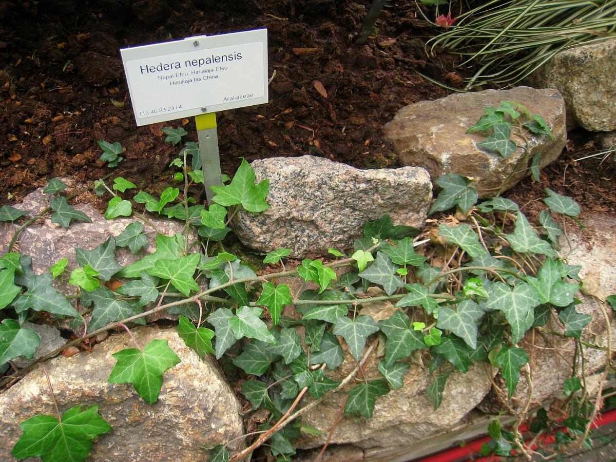 La Hedera nepalensis es una trepadora perennifolia