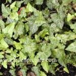 Vista de la planta Hedera caucasigena