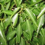 Detalle de las hojas de la Hedera nepalensis
