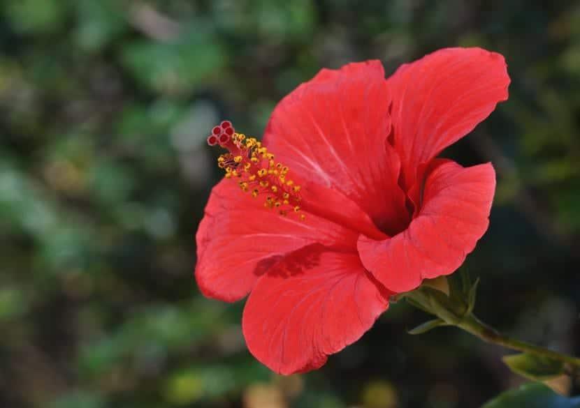 Hibiscus Rosa de China, un arbusto ideal para decorar patios y terrazas