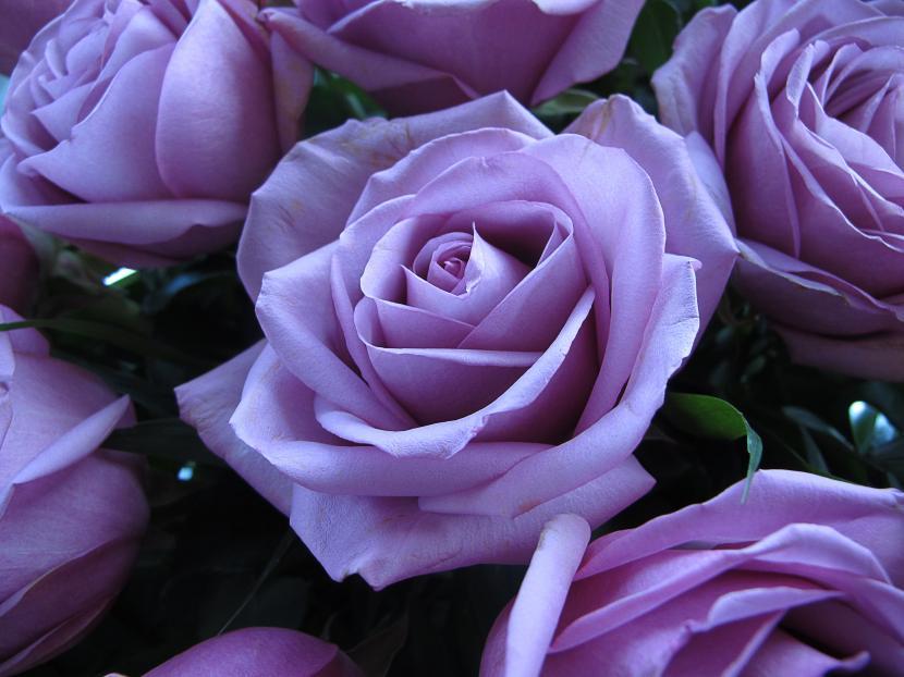 Rosas lilas