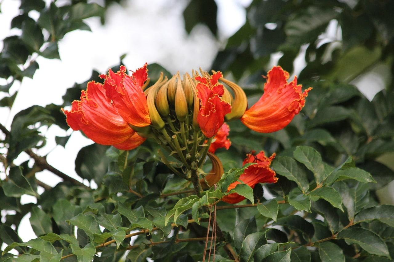 Vista de la Spathodea campanulata en flor