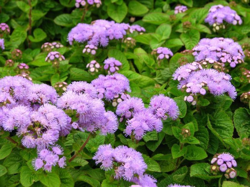 Ageratum houstonianum en flor