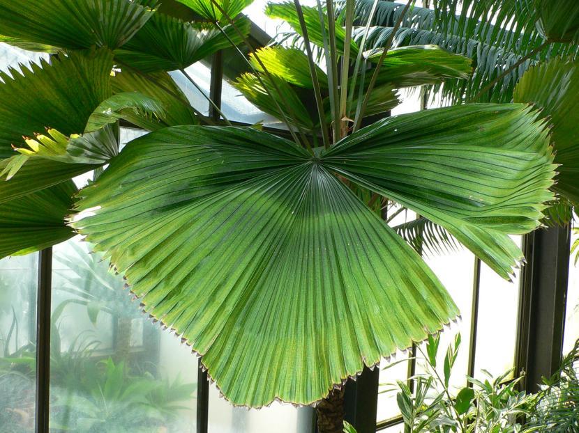 Licuala una preciosa palmera para decorar tu hogar - Plantas de interior palmeras ...