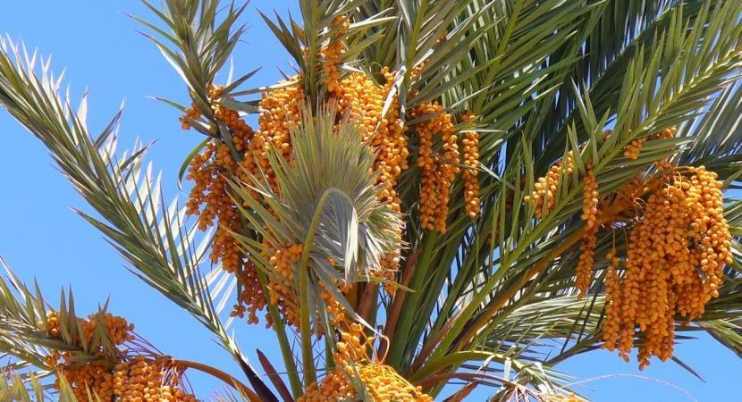 Phoenix dactylifera, una palmera muy útil