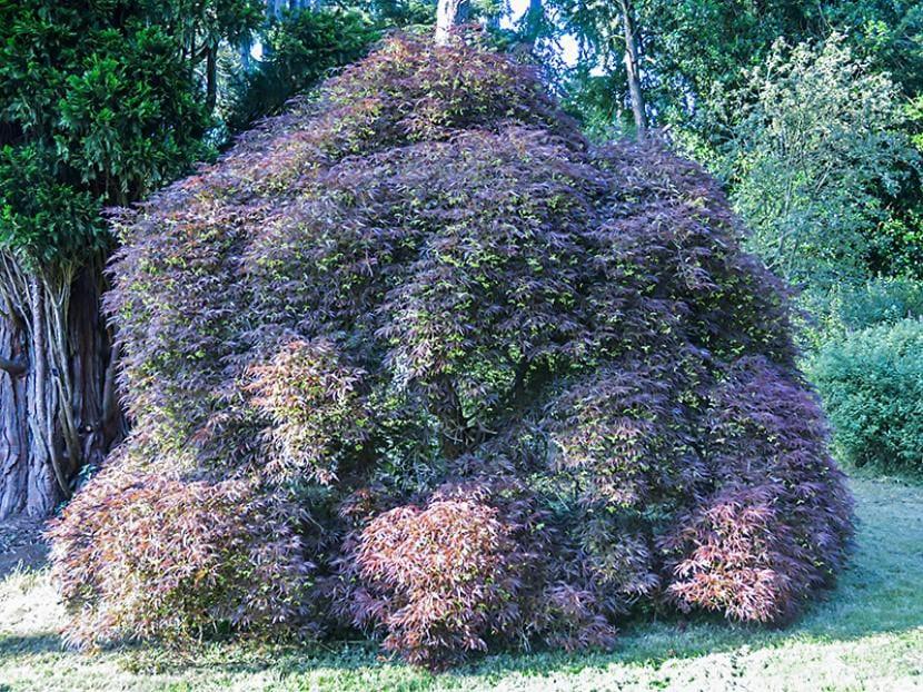 Acer palmatum ''Ornatum''