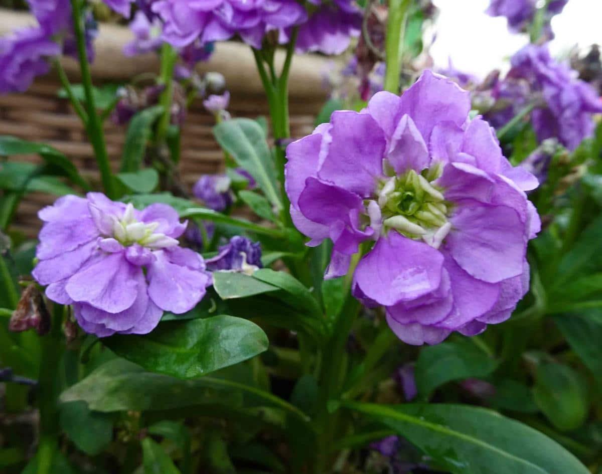 El alhelí tiene las flores lilas