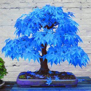 El arce japonés es un árbol de hojas verdes, rojas, amarillas o variegadas