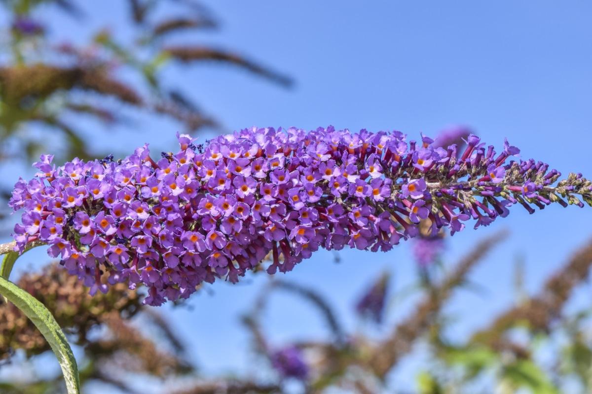 El arbusto de las mariposas tiene las flores lilas