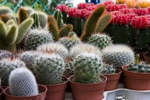 Cactus en vivero