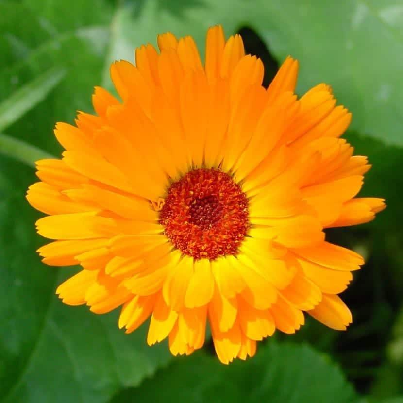 Calendula officinalis, una de las primeras en florecer