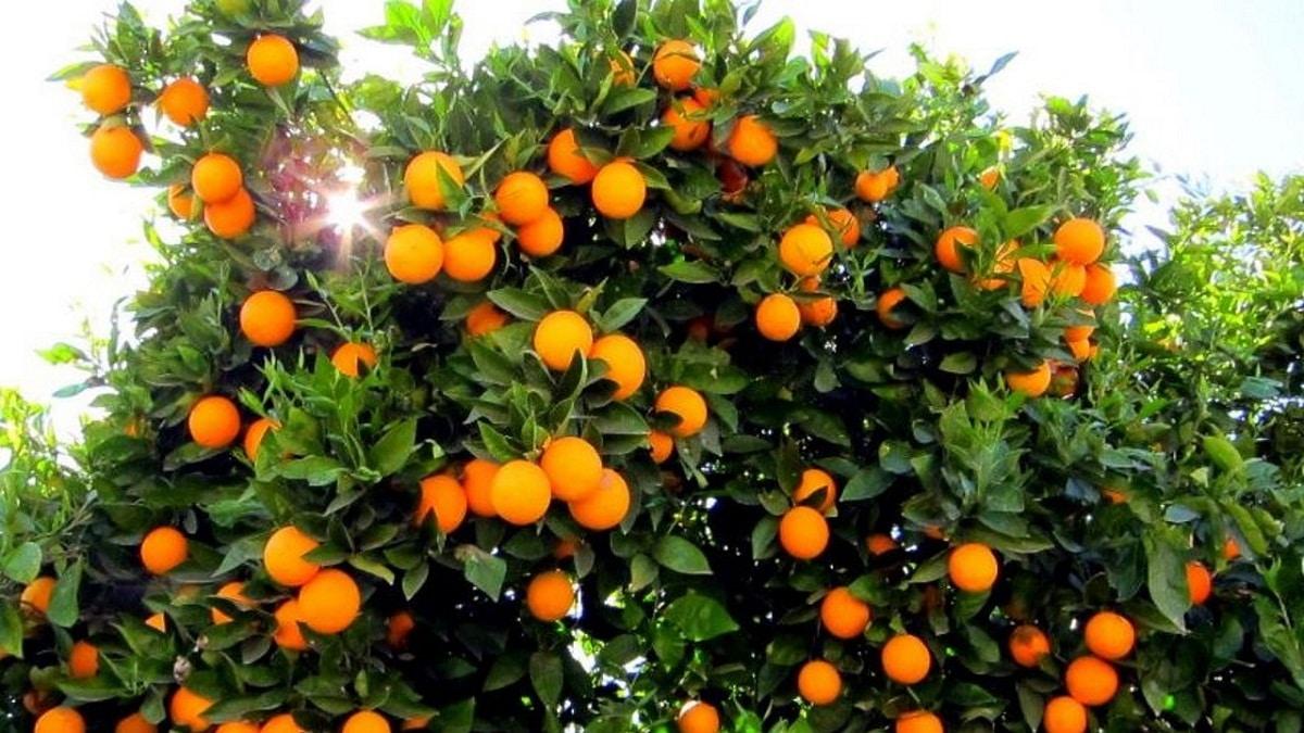 El naranjo es un árbol muy fructífero