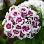 Dianthus barbatus