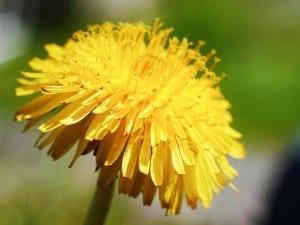 Diente de león, una flor preciosa