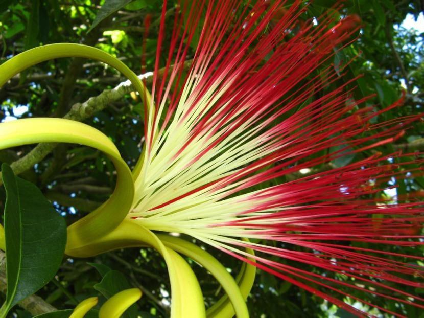 Flor de Pachira, una preciosa flor para jardín