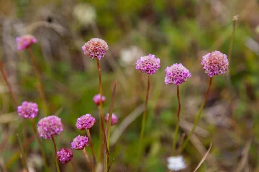 Flores de Armeria maritima