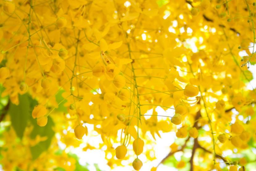 Flores de Cassia fistula