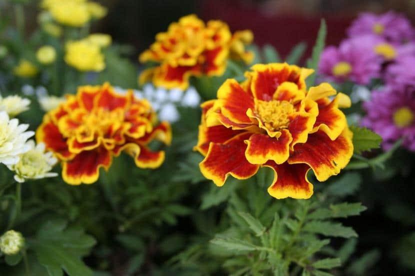 Flores de Tagetes