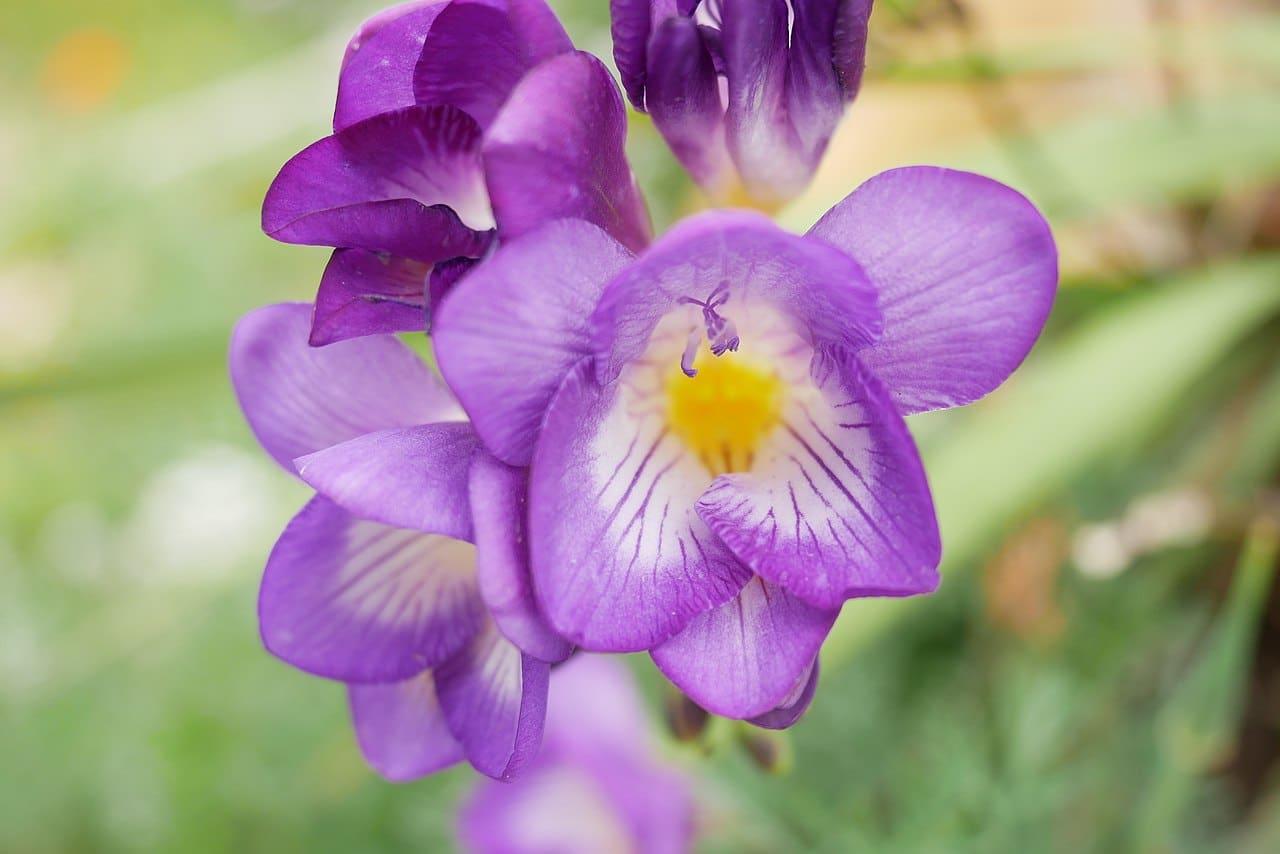 Las freesias son bulbosas que tienen flores lilas