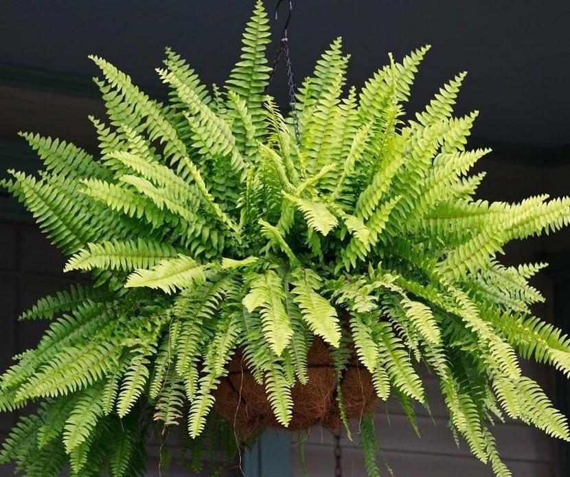 Helechos para macetas for Tipos de plantas para decorar interiores