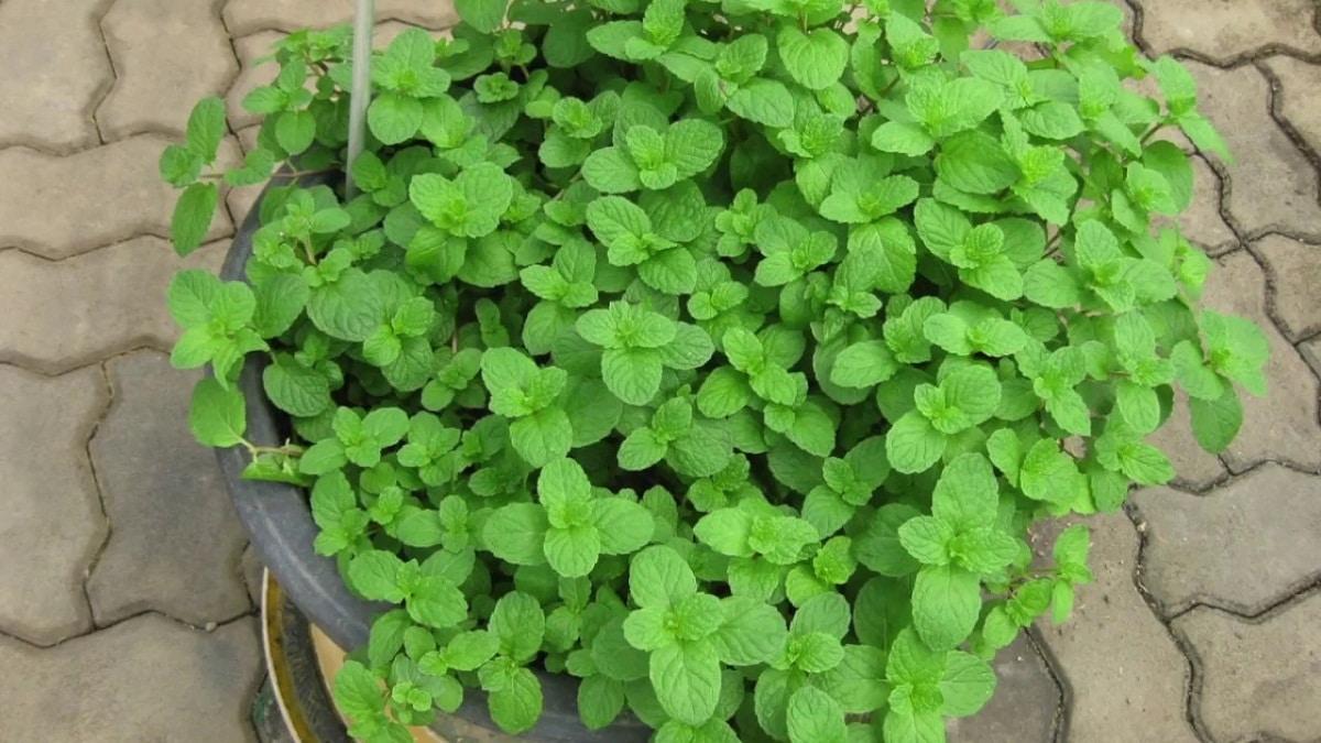 La hierbabuena es una planta aromática de fácil cultivo