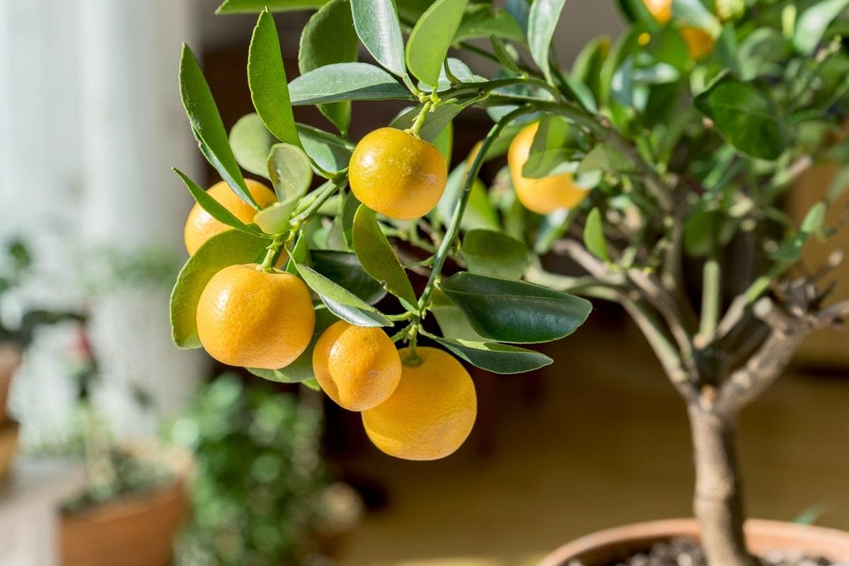El naranjo se puede tener en macetas