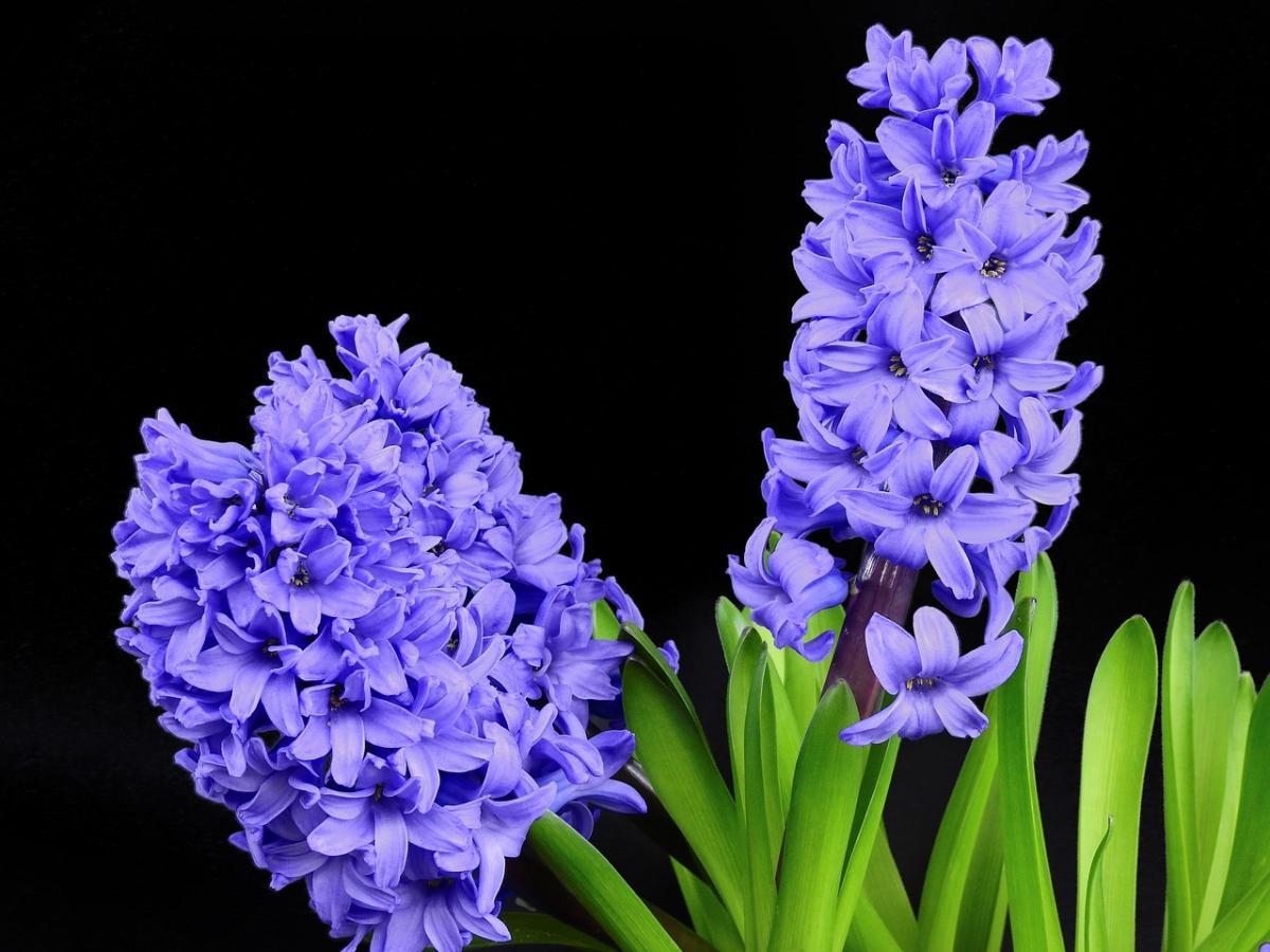 Los jacintos son bulbosas que florecen en primavera