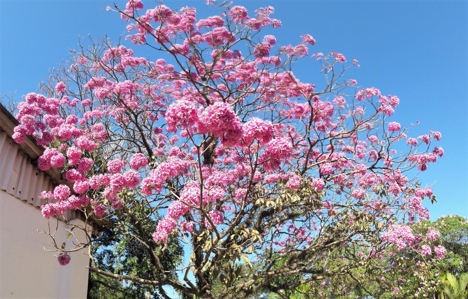 El lapacho rosado es un árbol tropical que florece en primavera