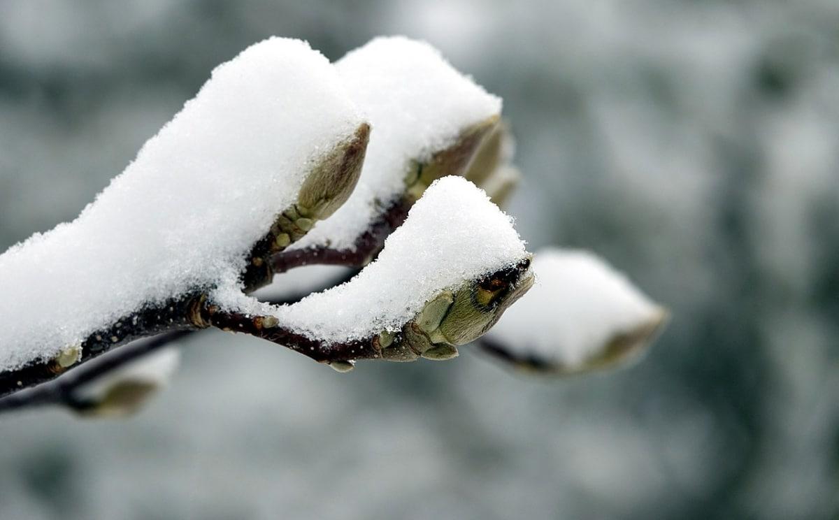 El magnolio ha sentir la nieve