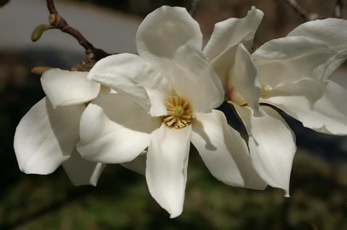 La Magnolia kobus produce flores blancas