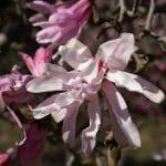 La Magnolia stellata puede tener las flores rosas