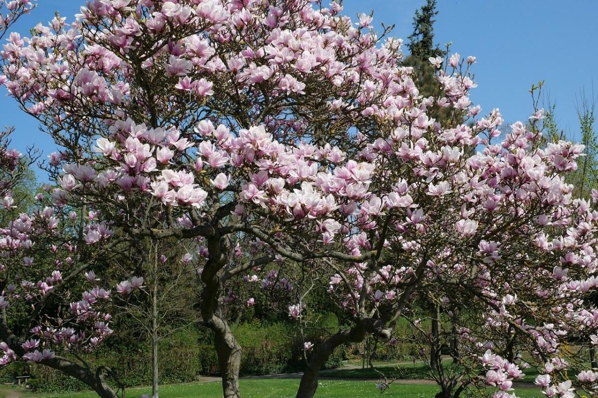 El magnolio es un tipo de árbol de gran tamaño