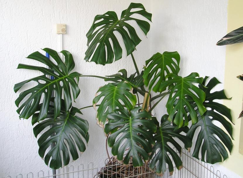 Monstera deliciosa, planta en maceta