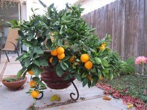 El naranjo es un árbol que se puede cultivar en macetas