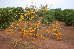 Naranjo con virus