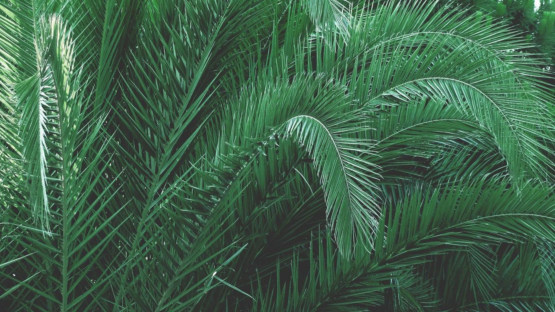 Es posible hacer esquejes de palmeras