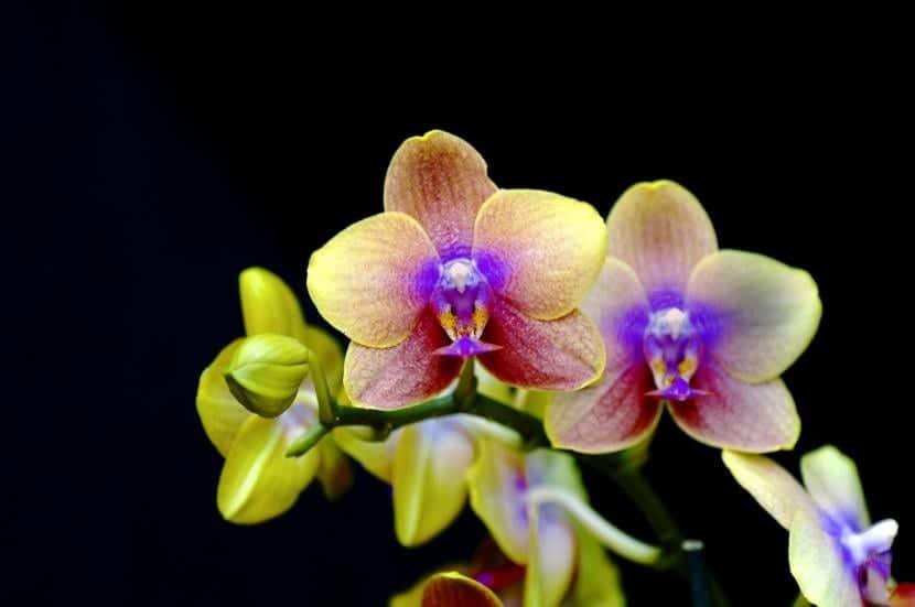 Phalaenopsis en flor