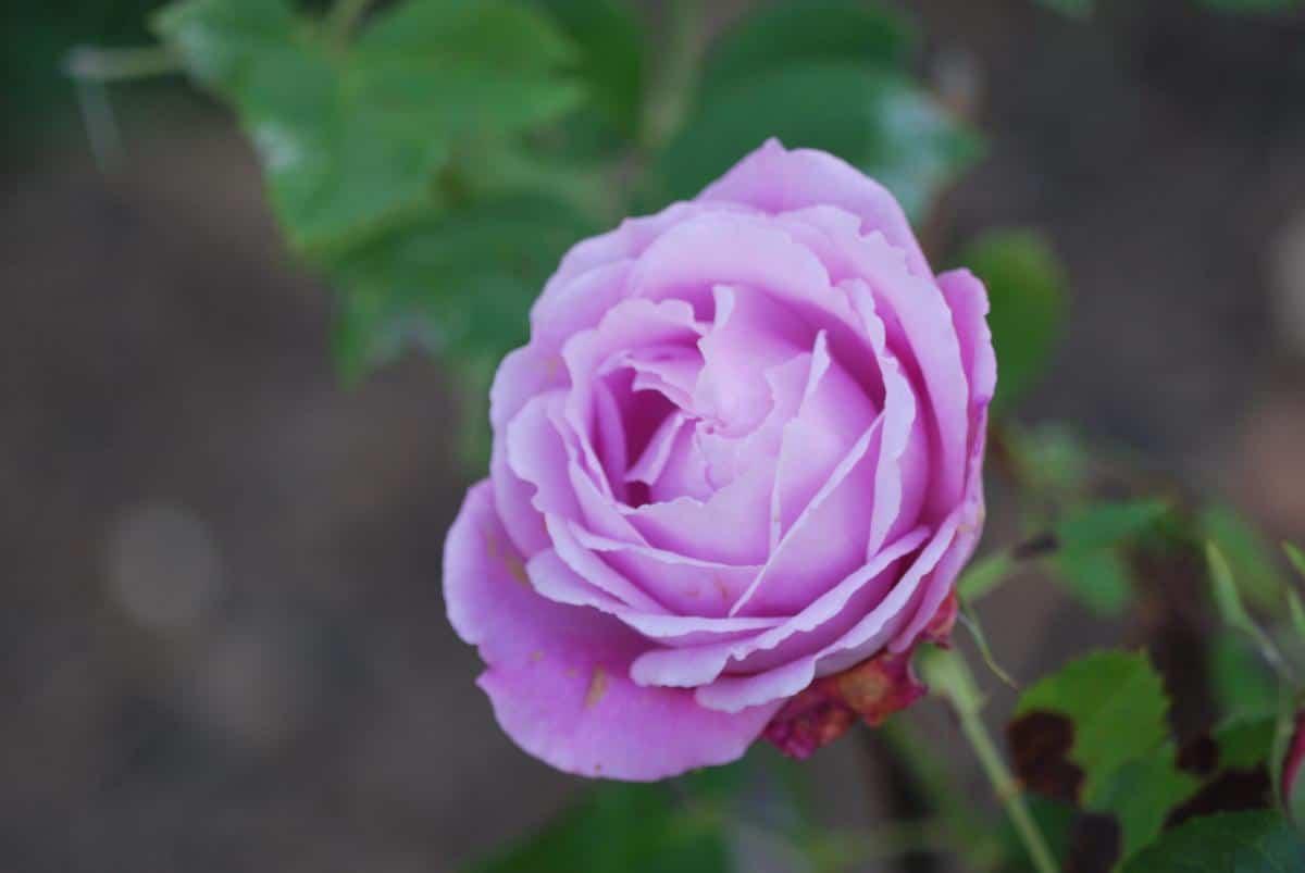 Las rosas son arbustos preciosos