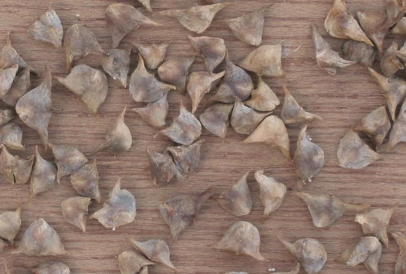 Semillas de espinaca